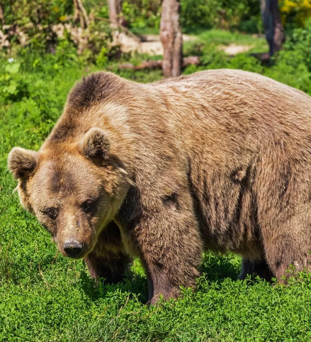 orso bruno andalo (1)